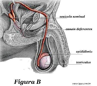 Anatomia do Sistema Reprodutor Masculino